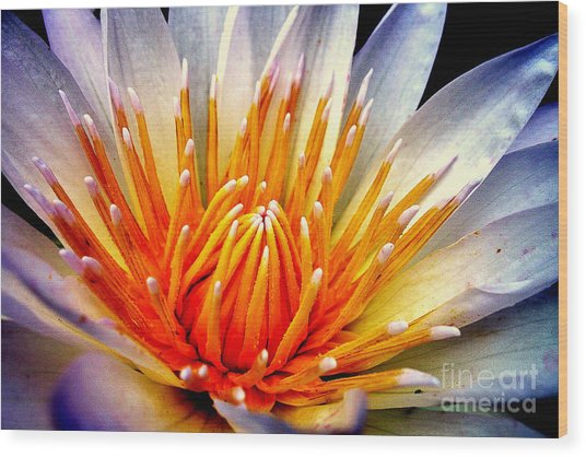 Water Lily Flower Wood Print
