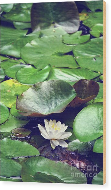 Water Lily II Wood Print by HD Connelly