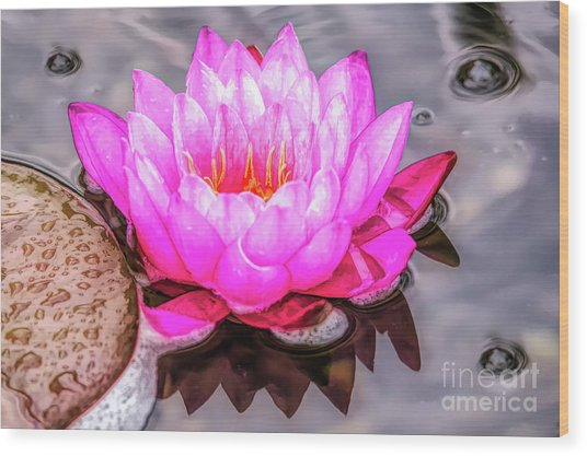 Water Lily In The Rain Wood Print