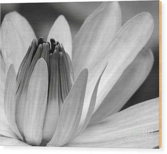 Water Lily Opening Wood Print