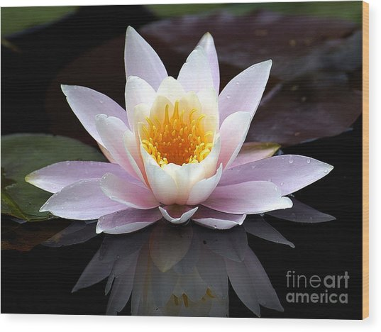 Water Lily With Reflection  Wood Print by Neil Doren