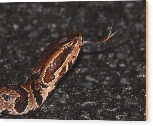 Water Moccasin Wood Print