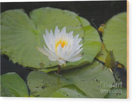 Waterlilies Wood Print by Miguel Celis