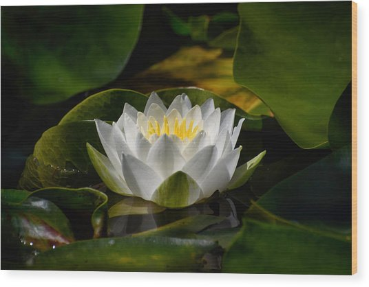 Waterlily Wood Print