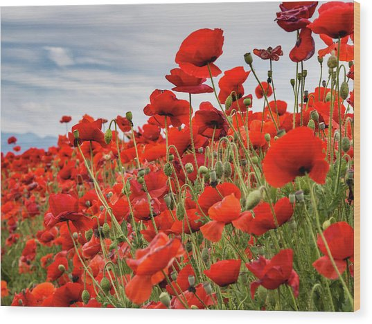 Waving Red Poppies Wood Print