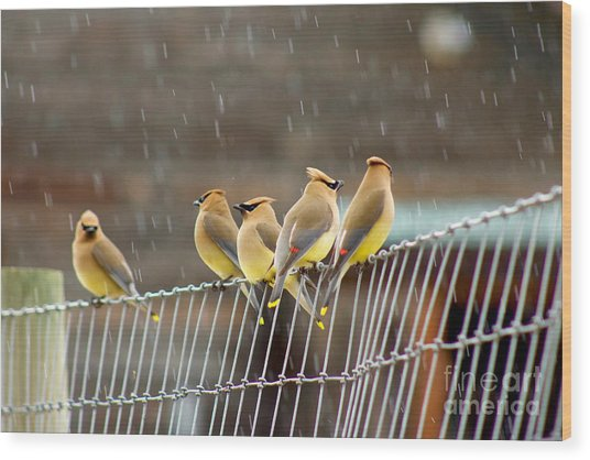 Waxwings In The Rain Wood Print