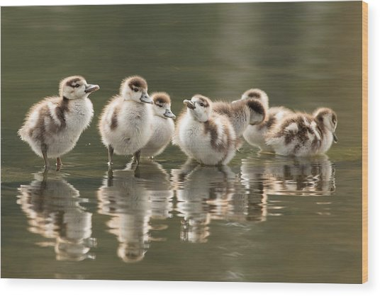 We Are Family - Seven Egytean Goslings In A Row Wood Print