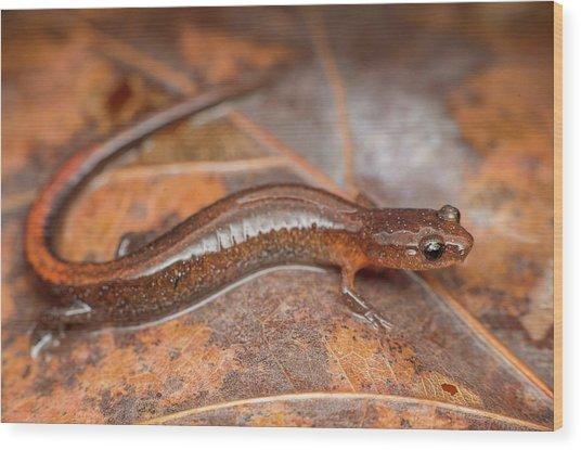 Webster's Salamander Wood Print by Derek Thornton