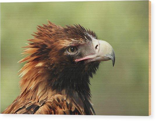Wedge-tailed Eagle Wood Print