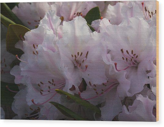 Weigela Blossom Wood Print