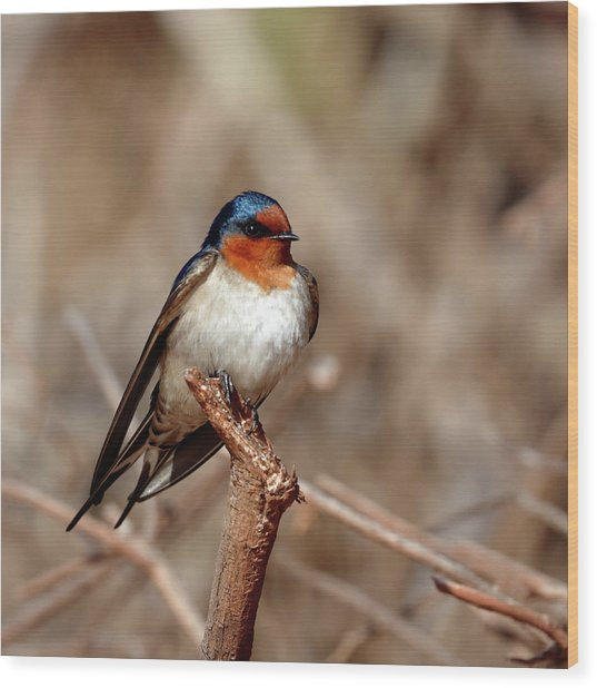 Welcome Swallow Wood Print