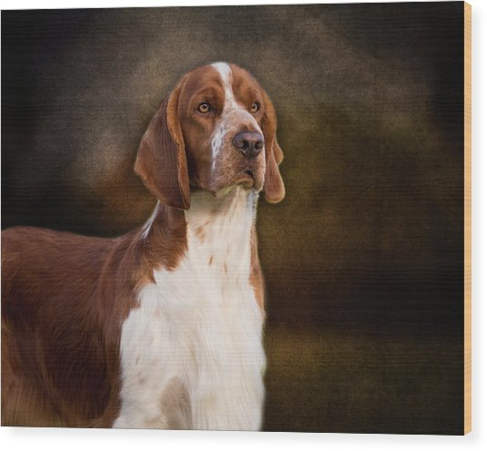 Welsh Springer Spaniel Wood Print