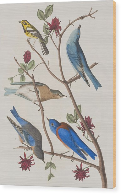 Western Blue-bird Wood Print