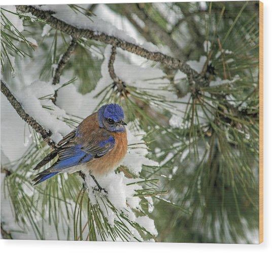 Western Bluebird In A Snowy Pine Wood Print