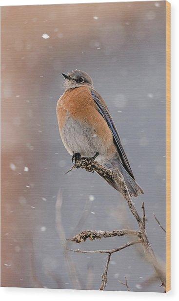 Western Bluebird In Winter Wood Print