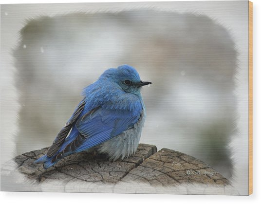 Western Bluebird On Cold Day Wood Print