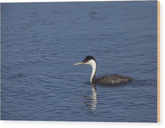 Western Grebe In Late Afternoon Light Wood Print