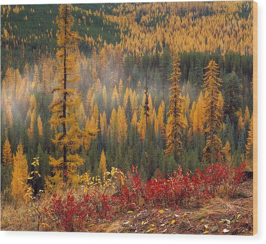 Western Larch Forest Autumn Wood Print
