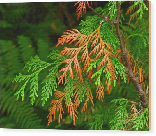 Western Red Cedar Wood Print
