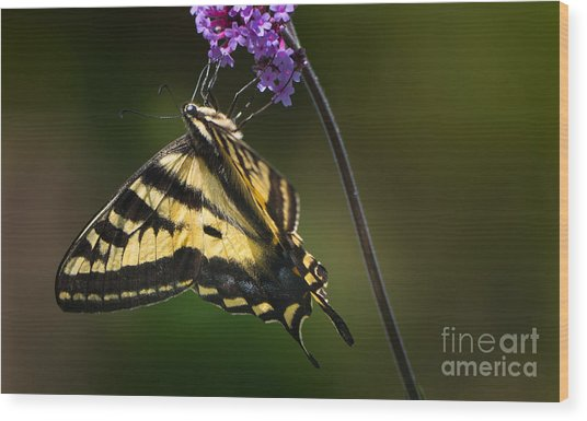 Western Tiger Swallowtail Butterfly On Purble Verbena Wood Print