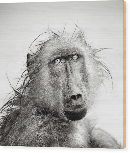 Wet Baboon Portrait Wood Print