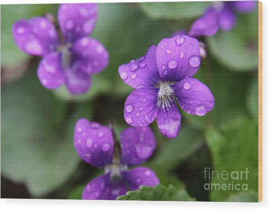 Wet Purple Violets Wood Print by Chris Hill