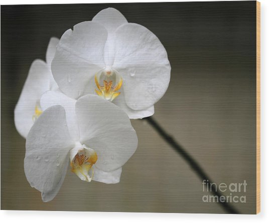 Wet White Orchids Wood Print