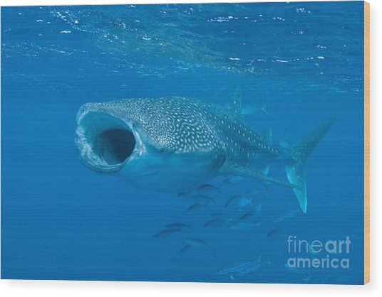 Wood Print featuring the photograph Whale Shark, Ari And Male Atoll by Mathieu Meur