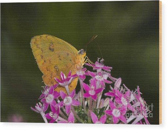 Yellow Sulfur On Pink Flowers  Wood Print