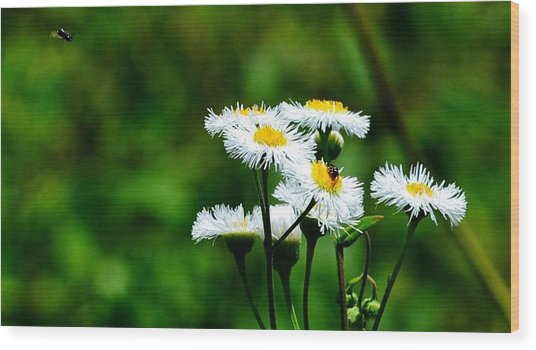 Bellis Daisy Wood Print