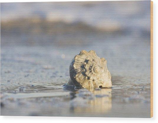 Whelk Shell In Surf Wood Print