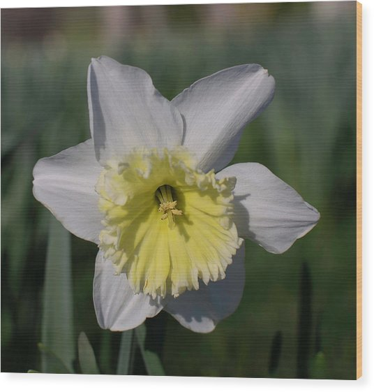 White And Yellow Daffodil Wood Print
