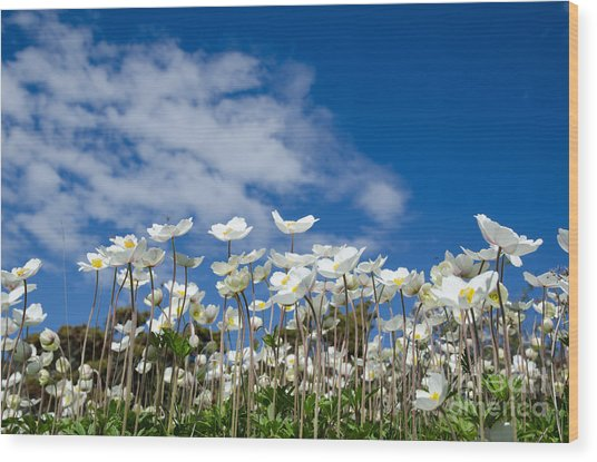 White Anemones At Blue Sky Wood Print