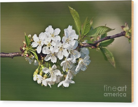 White Apple Blossoms Wood Print