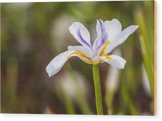 White Beardless Iris Wood Print