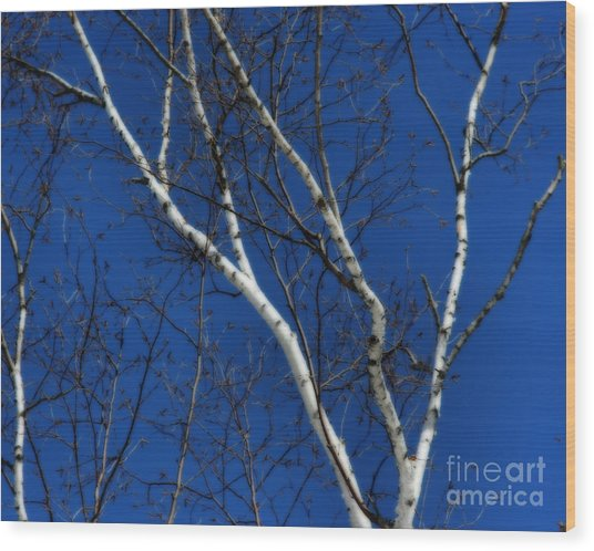 White Birch Blue Sky Wood Print