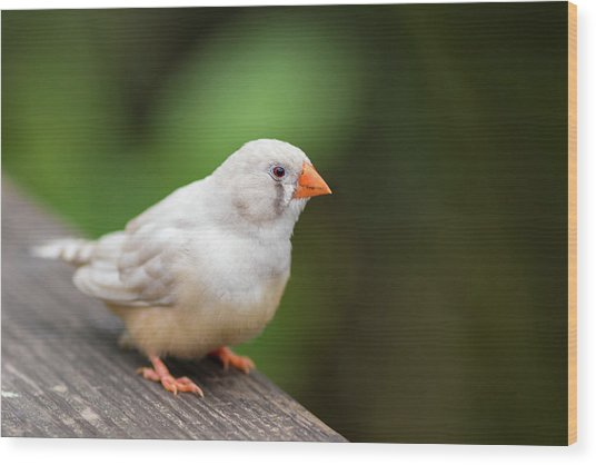 Wood Print featuring the photograph White Bird Standing On Deck by Raphael Lopez