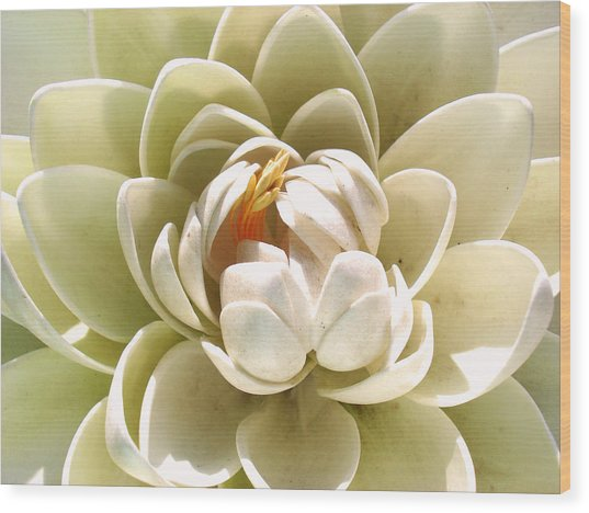 White Blooming Lotus Wood Print