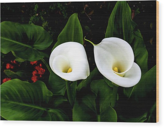 White Calla Lily Wood Print