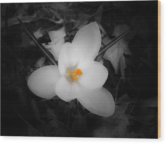 White Crocus - Edit Wood Print