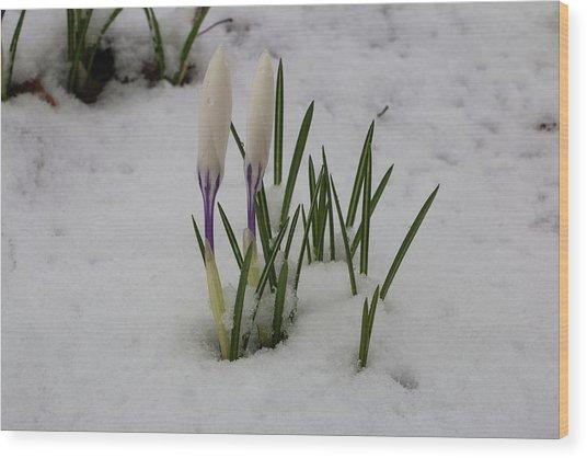 White Crocus In Snow Wood Print