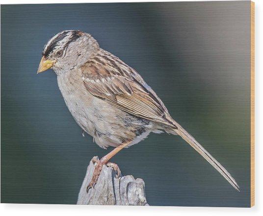 White-crowned Sparrow Wood Print by Carl Olsen