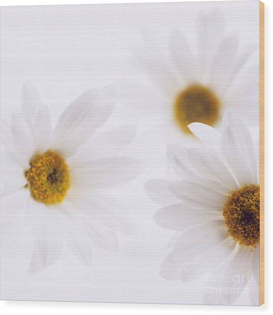 White Daisies Wood Print by Hideaki Sakurai