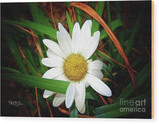 White Daisy Wood Print
