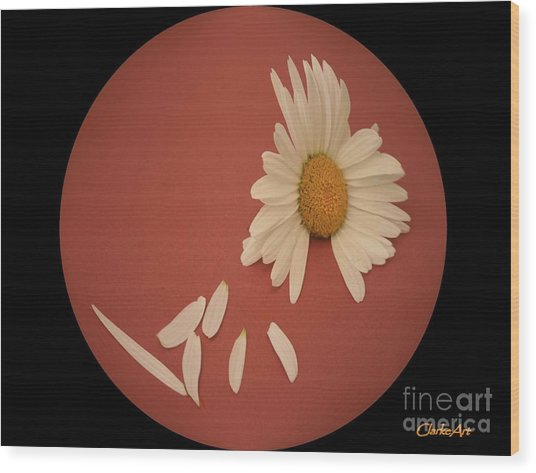 Encapsulated Daisy With Dropping Petals Wood Print