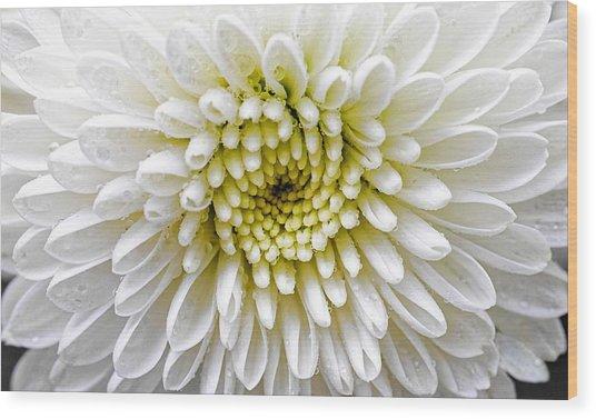 White Dew - Chrysanthemum Wood Print