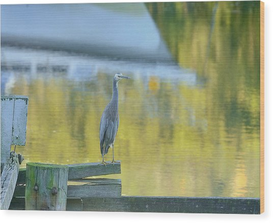 White Faced Heron With Reflections Wood Print by Barry Culling