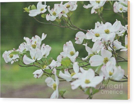 White Flowering Dogwood Wood Print