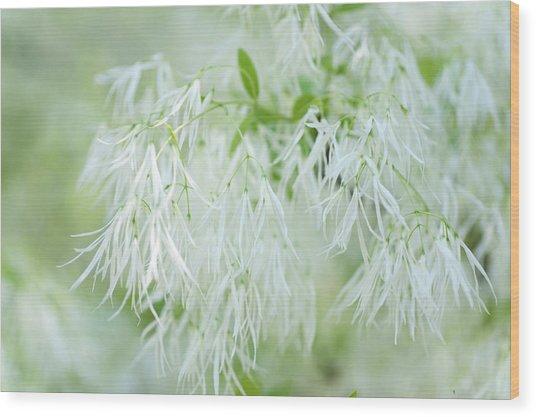 White Fringetree Wood Print