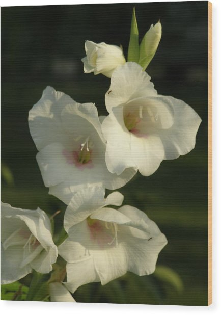 White Glads Wood Print by Jeanette Oberholtzer